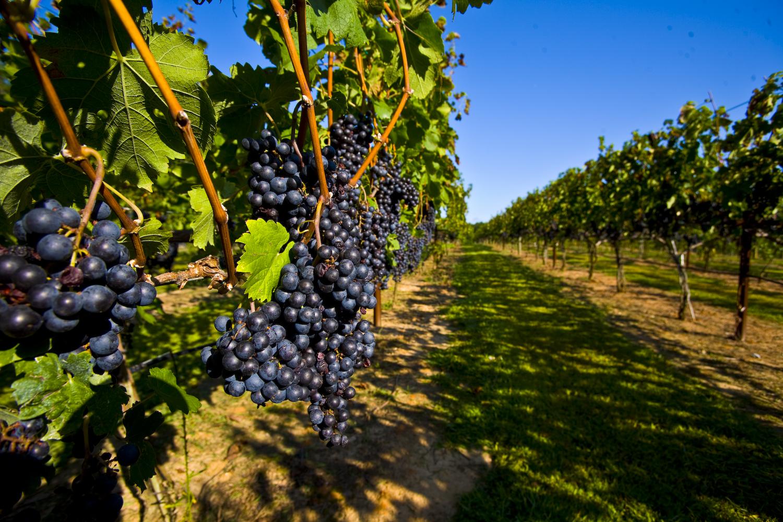 Способы размножения винограда, их особенности и хитрости от опытных виноградарей