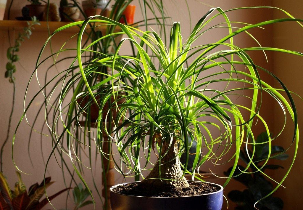 Нолина, или бутылочное дерево: как вырастить пальму у себя в квартире