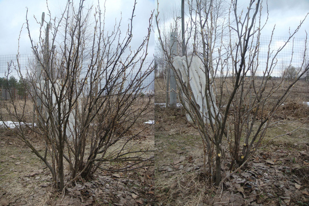 Обрезка смородины осенью до и после