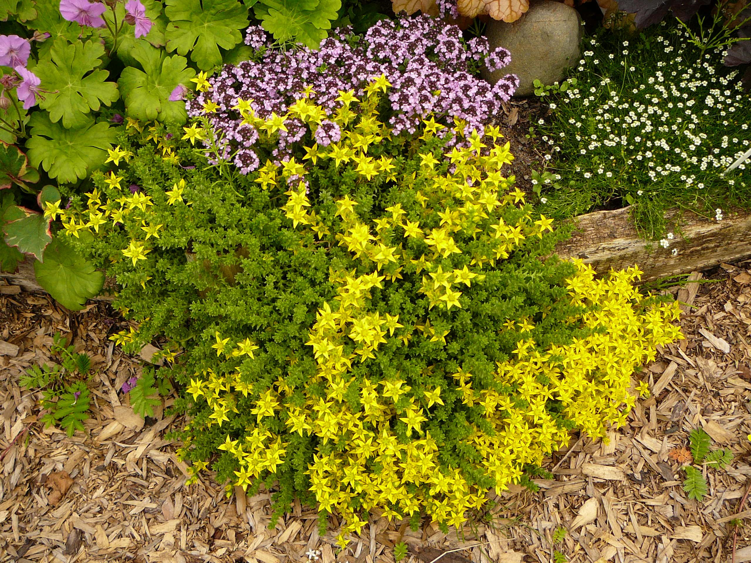 Цветок очиток и его особенности: разновидности, уход и фото