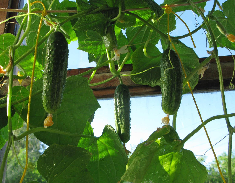 Выращивание огурцов на балконе: пошаговый процесс