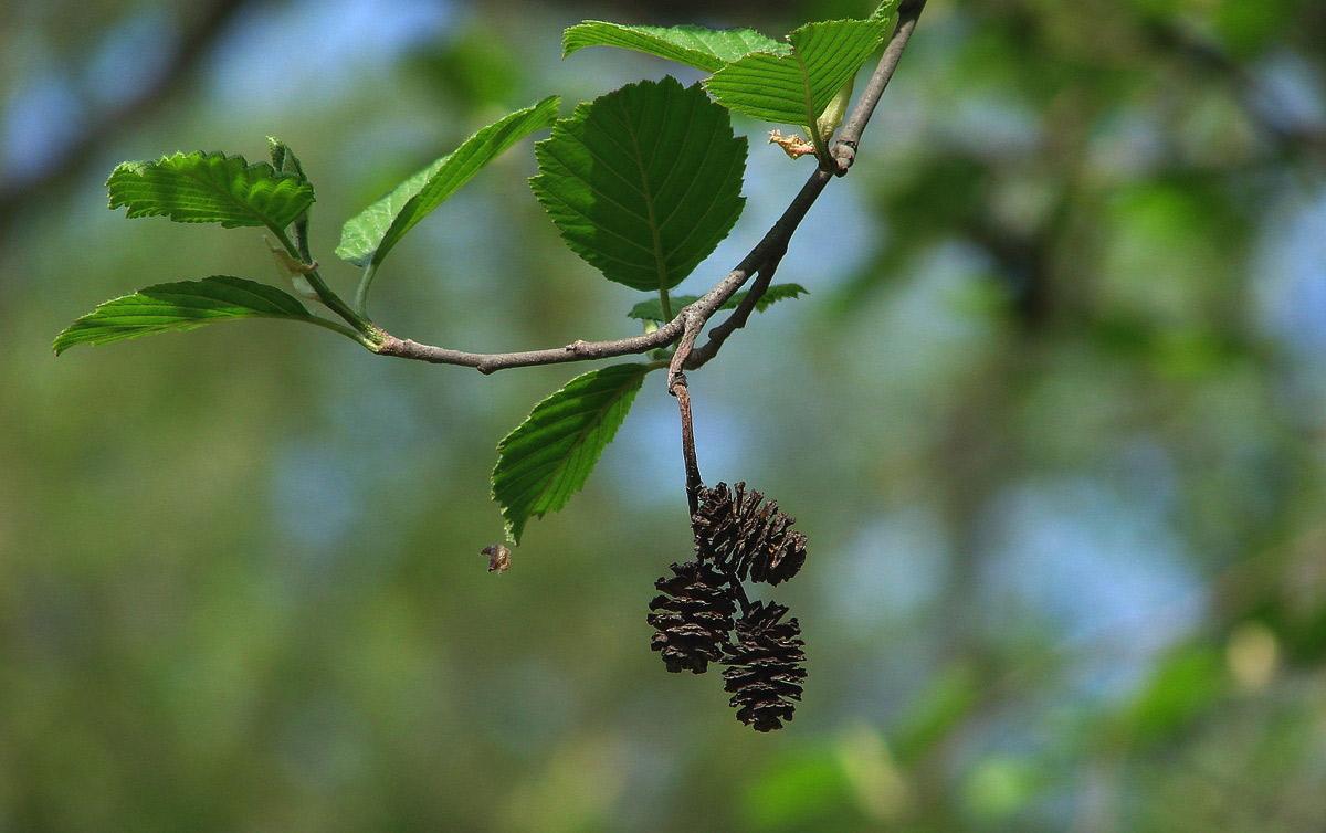 Ольха — описание, фото дерева и листьев