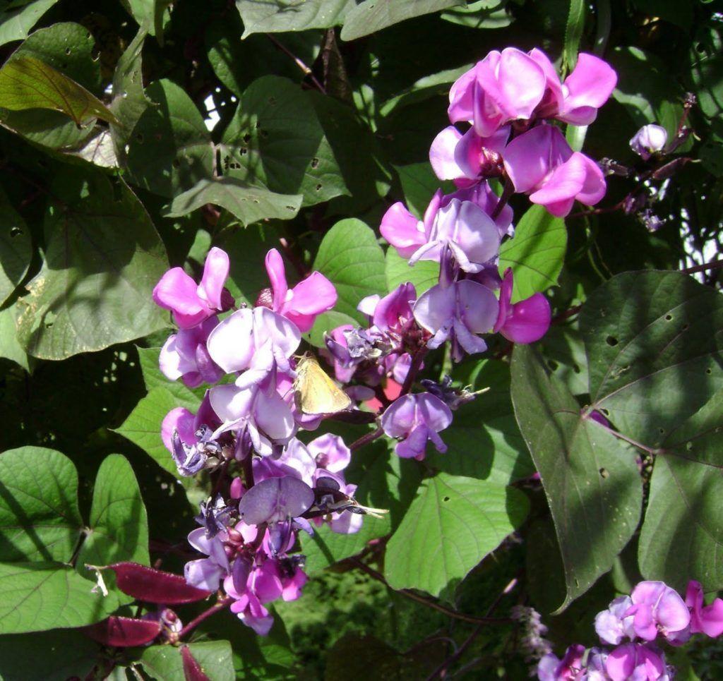 Выращивание гиацинтовых бобов из семян