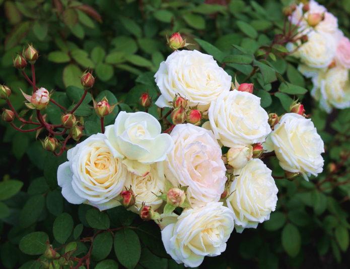 Шрабы роз: что это такое, в чем их отличия от остальных роз