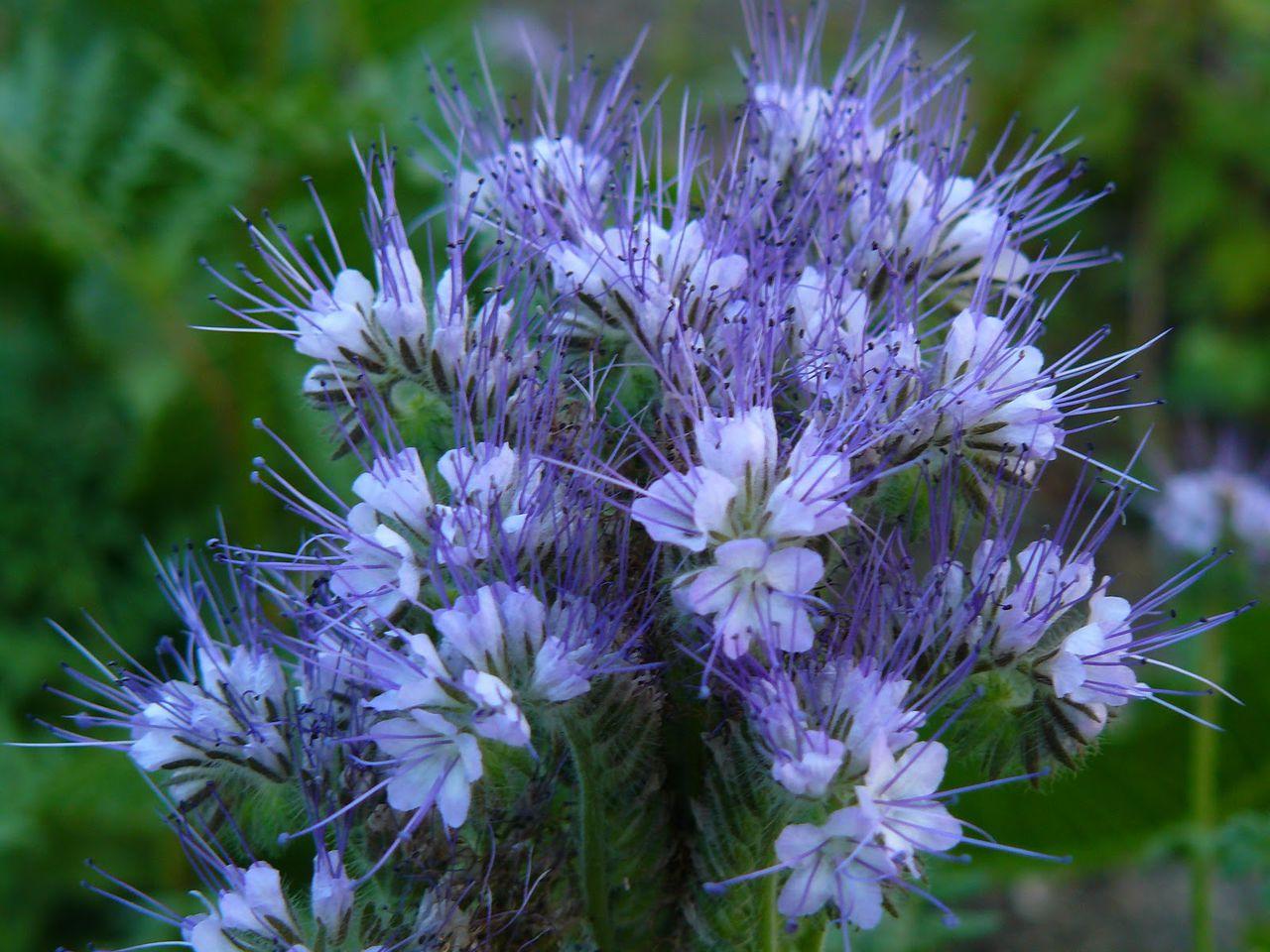Цветок фацелия: разновидности, фото, полезные качества и выращивание