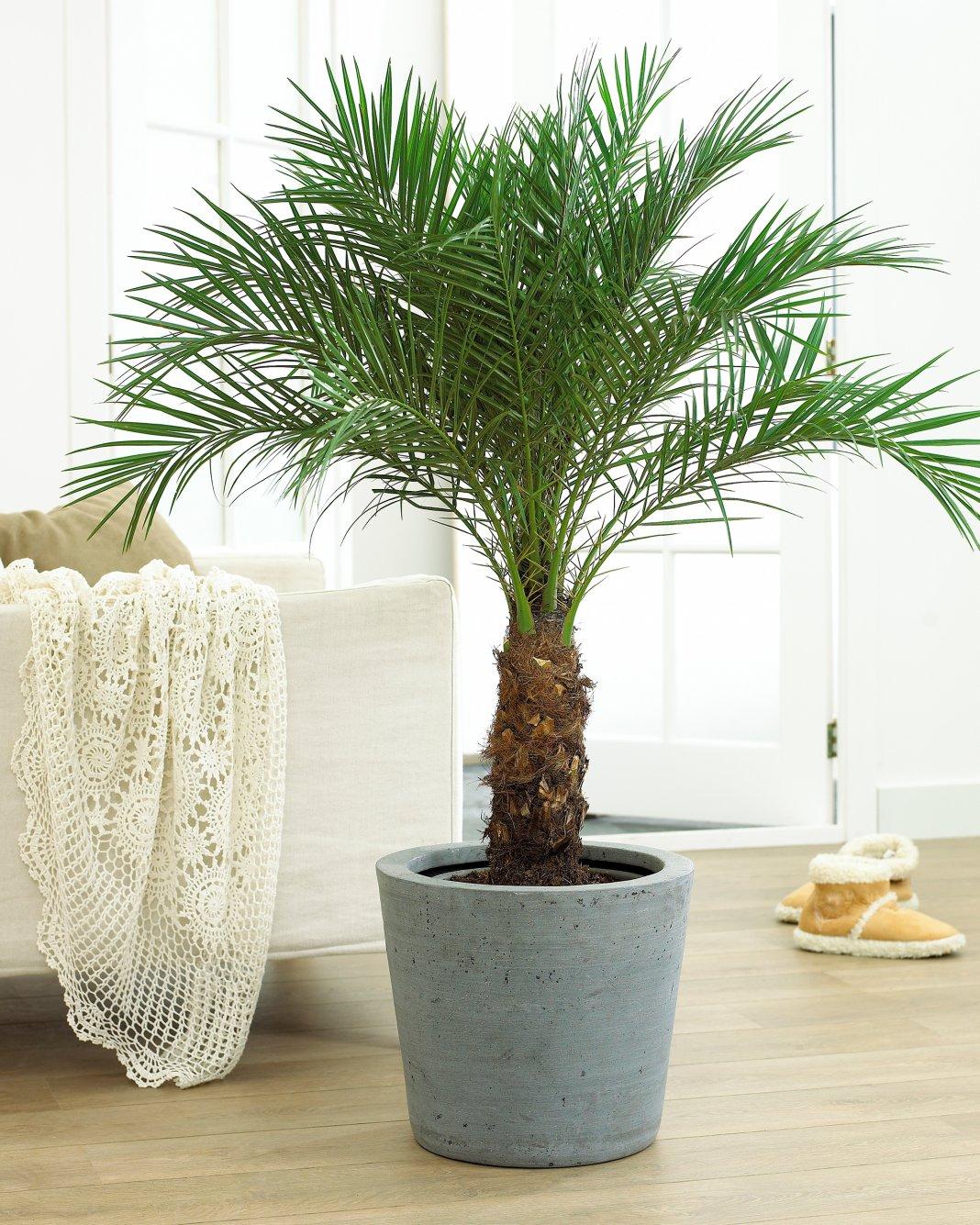 Домашняя финиковая пальма из косточки в комнатных условиях