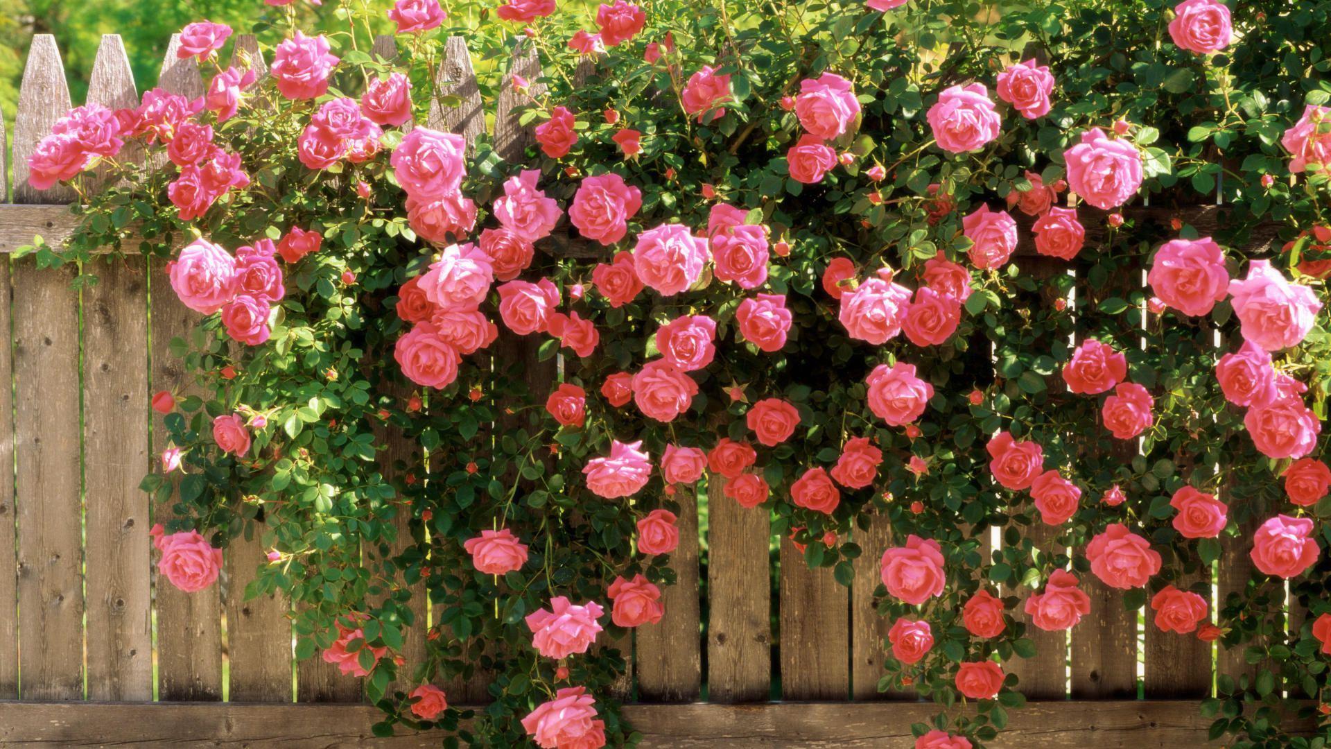 Плетистые розы: посадка и уход, правила выращивания в открытом грунте
