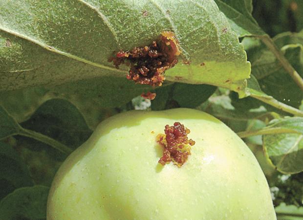 Плодожорка в яблоке
