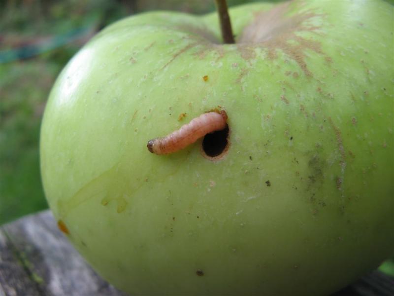 Плодожорка