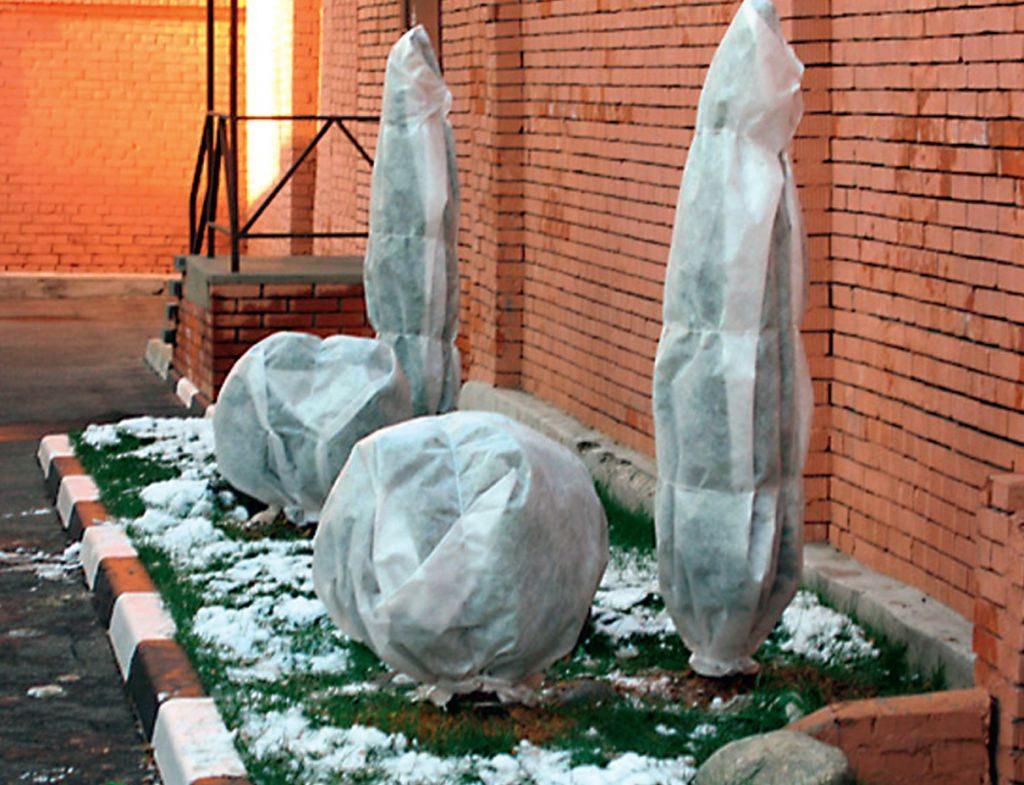 Подготовка туи к зиме