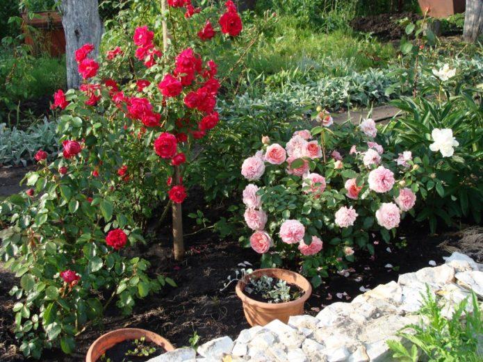 Цветущие розы на грядке