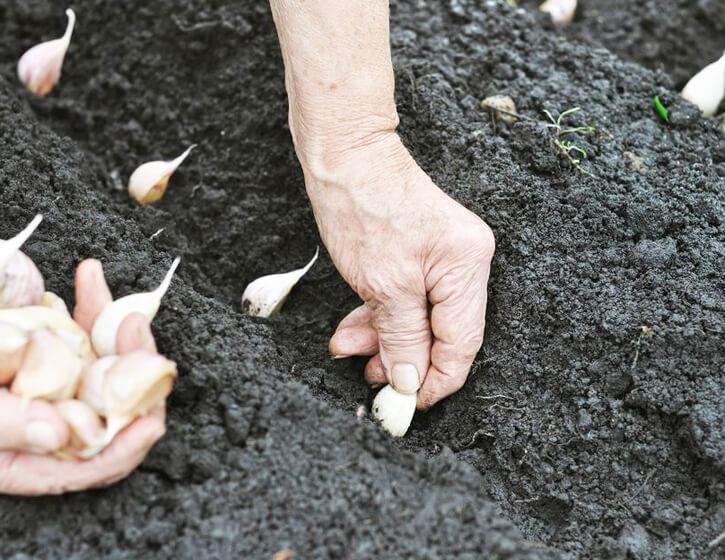 Посадка чеснока весной зубчиками