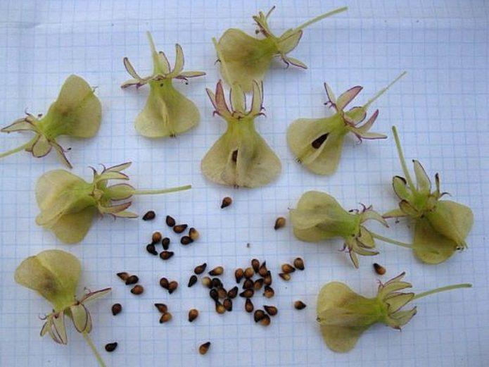 посадка семян лилий