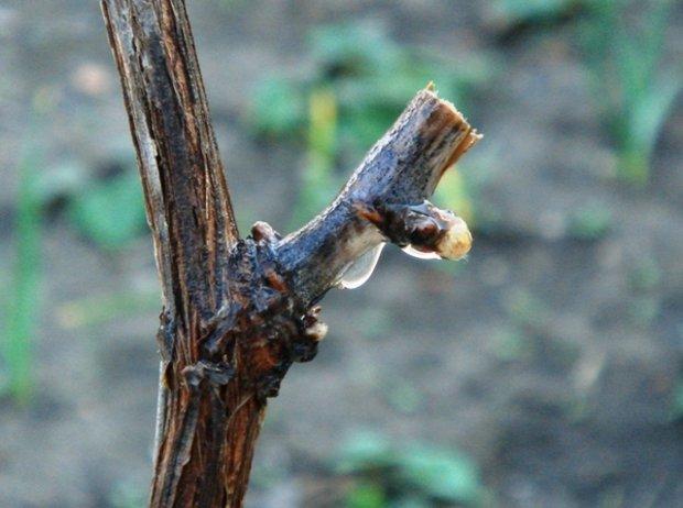 Последствия обрезки винограда весной после начала сокодивижения