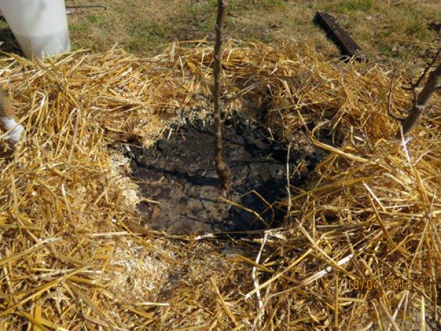 Покрытие приствольного круга сухой травой