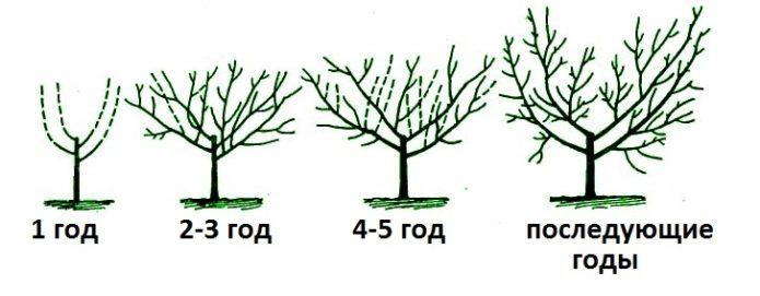 Поэтапное формирование кроны вишни
