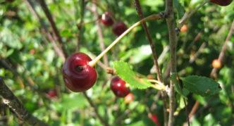 Повреждённые плоды вишни