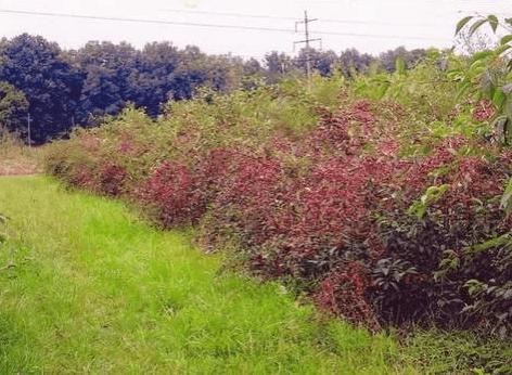 Посадки вишни Жуковская