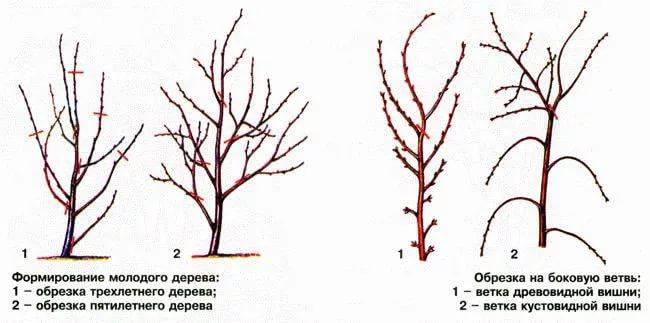 Схема обрезка вишни