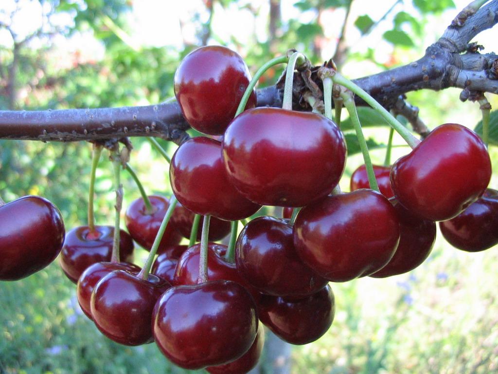Дюк сорта Ночка: выращиваем сладкую и крупную черевишню