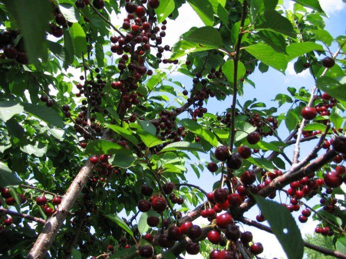 Дерево дюка с ягодами