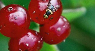 Вишнёвая муха на ягодах