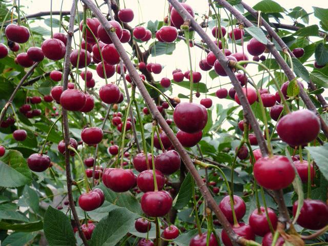 Ветви вишни с плодами
