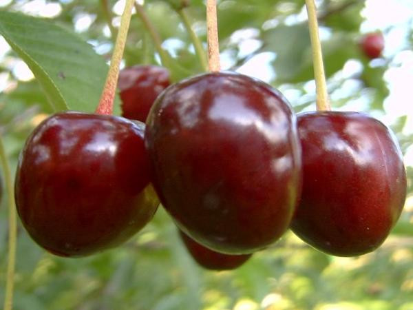 Плоды Ровесницы на дереве