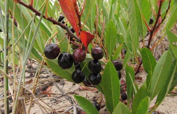 Выращивание вишни Бессея