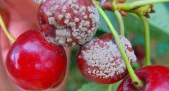 Серая гниль на ягодах черешни