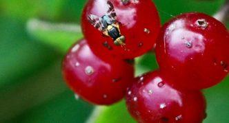 Вишнёвая муха на черешне