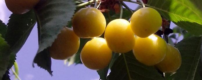 Плоды черешни Чермашная