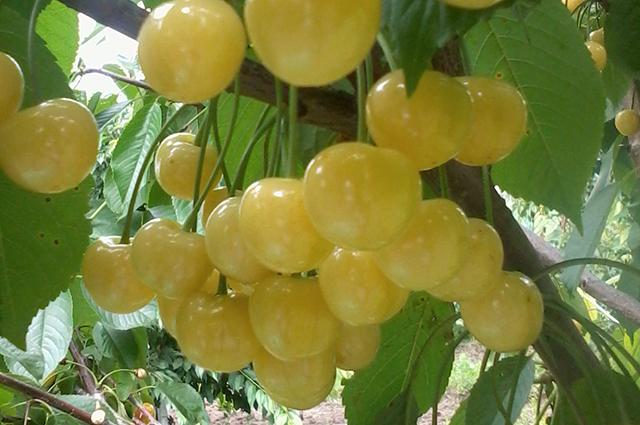 Плоды черешни Чермашная на ветке