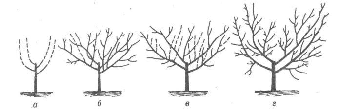 Схема формирования черешни кустом