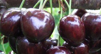 Черешня сорта Мелитопольская крупноплодная