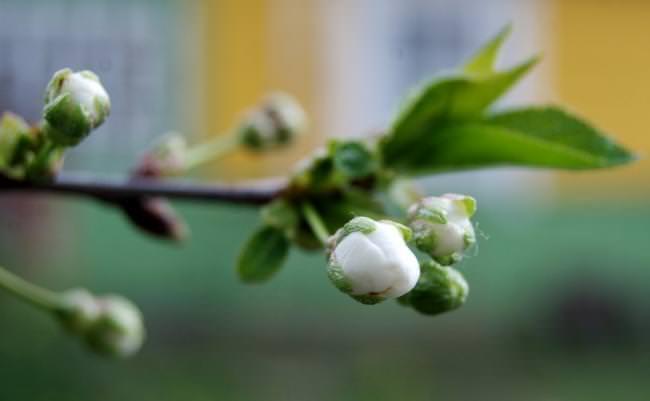 Бутон вишнёвого цветка