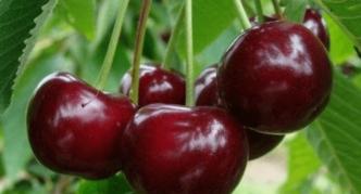 Плоды черешни сорта Сюрприз