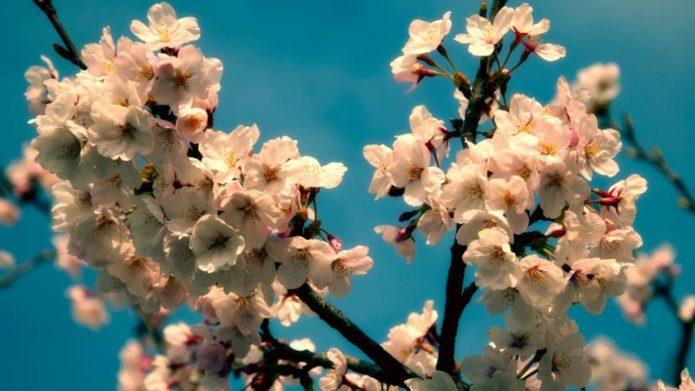 Цветущая ветка вишни