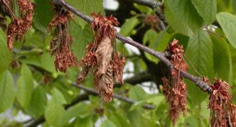 Высохшие от монилиоза листья