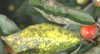 Пожелтевшие от парши листья черешни