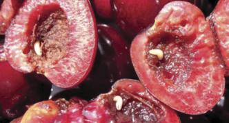 Личинки вишнёвой мухи в плодах черешни