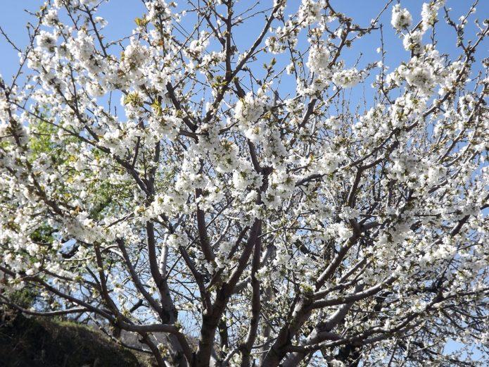 Цветущее дерево черешни