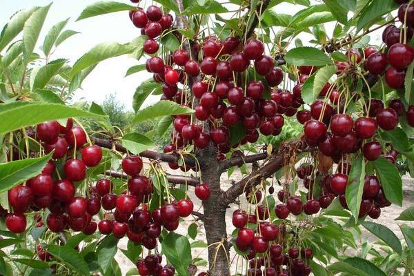 Ягоды вишни сорта Встреча