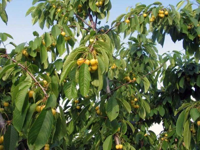 Дерево черешни Дрогана жёлтая