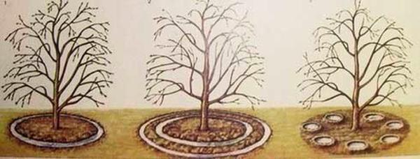 Формирование приствольных кругов для полива вишни
