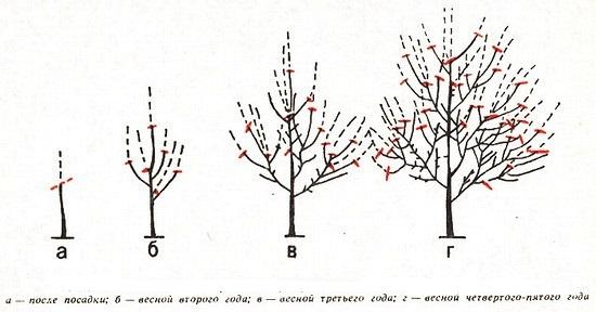 Схема формирования разрежённо-ярусной кроны у черешни
