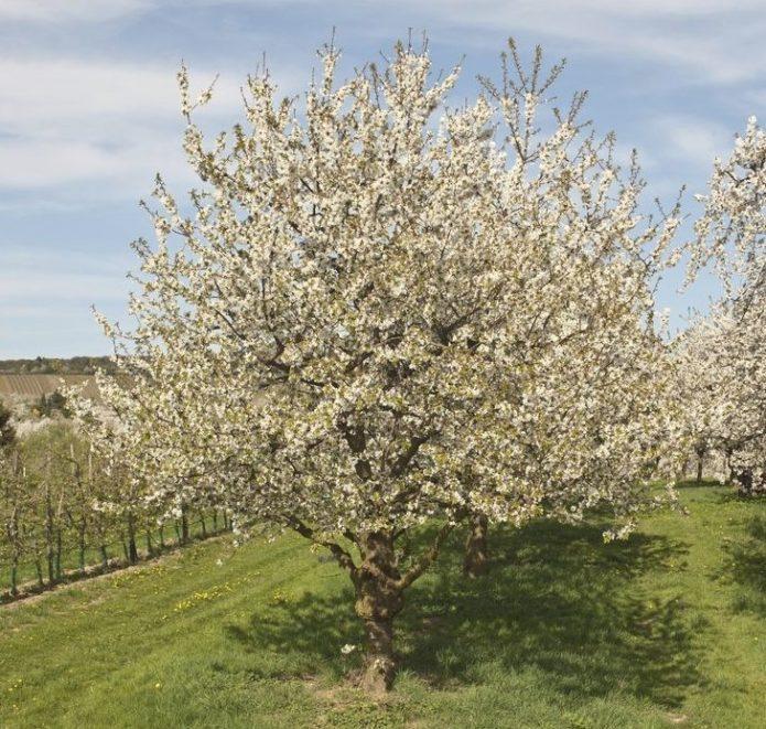 Выбор места для вишни