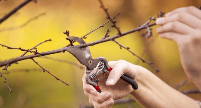 Инструмент для обрезки вишни