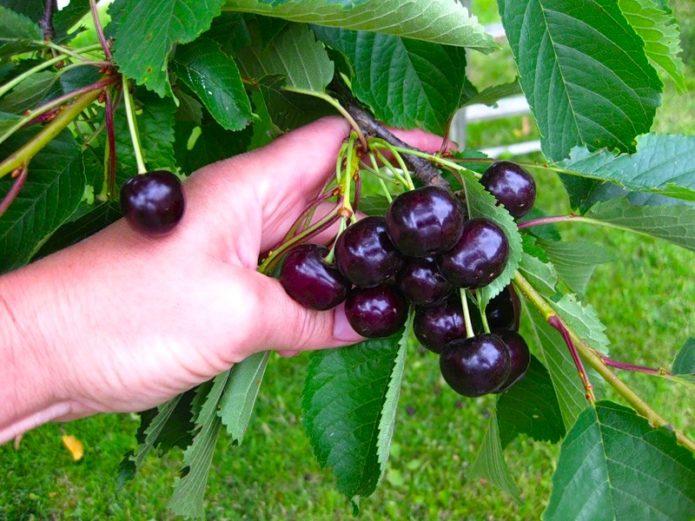 Спелые плоды черешни Ревна