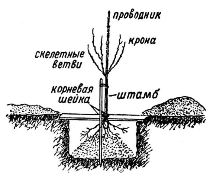 Схема правильной посадки саженца черешни